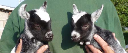 Pygmy goat twins, 10 days old @ Fishers Mobile Farm