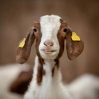 Boer goat @ Fishers Mobile Farm