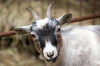 Pygmy goat @ Fishers Mobile Farm
