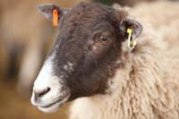 Sheep @ Fishers Mobile Farm