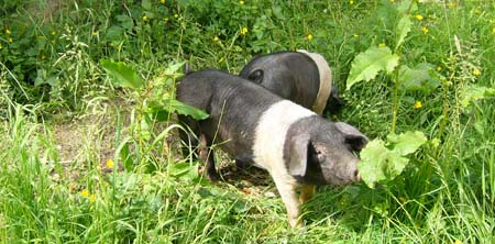 Fishers Mobile Farm pigs