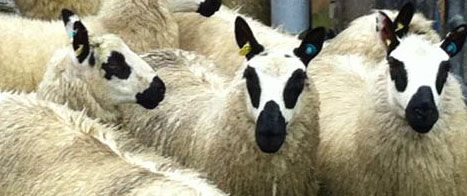 Fishers Mobile Farm - Kerry Hill sheep