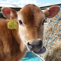 Jersey calf @ Fishers Mobile Farm