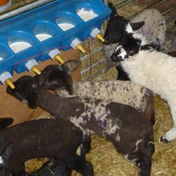 Fishers Mobile Farm - pet lambs at Crabtree Farm, Lupton