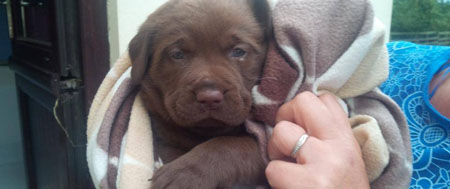 Fishers Mobile Farm - Cookie, our Brown Labrador puppy